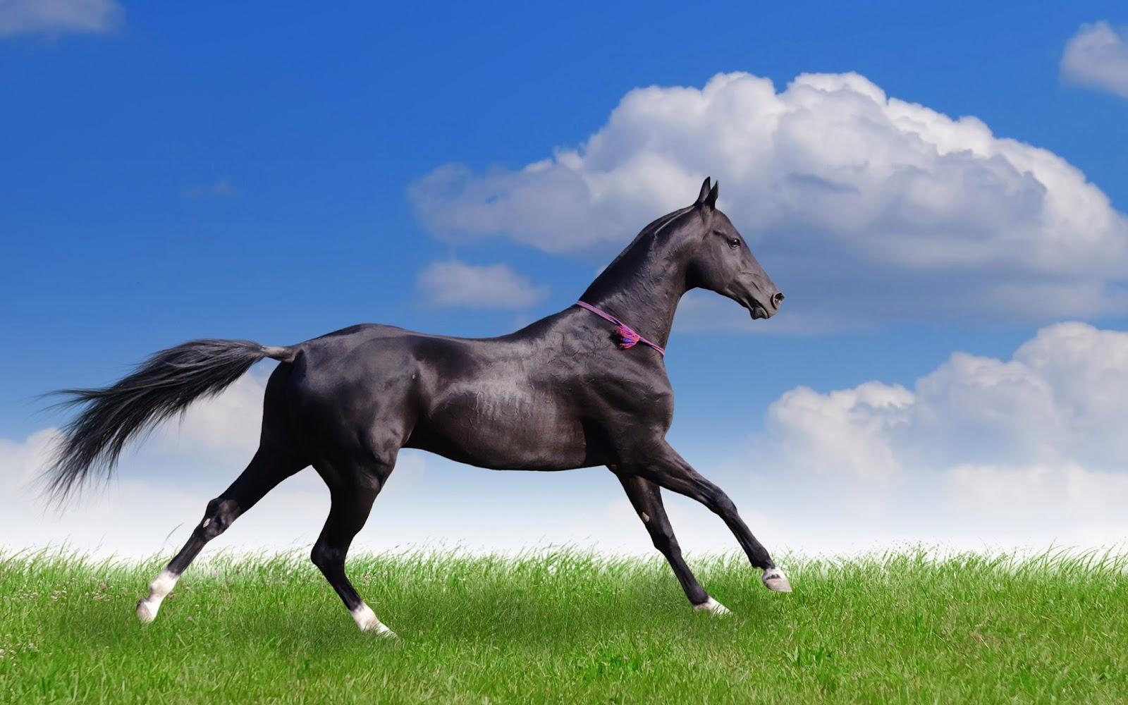 horse wallpapers for free,horse,mammal,vertebrate,mane,stallion