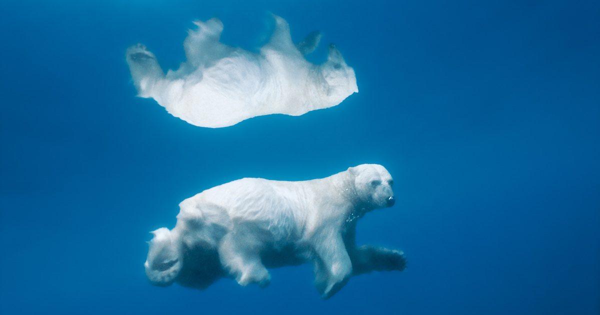 mac air wallpaper,bear,polar bear,polar bear,sky,organism