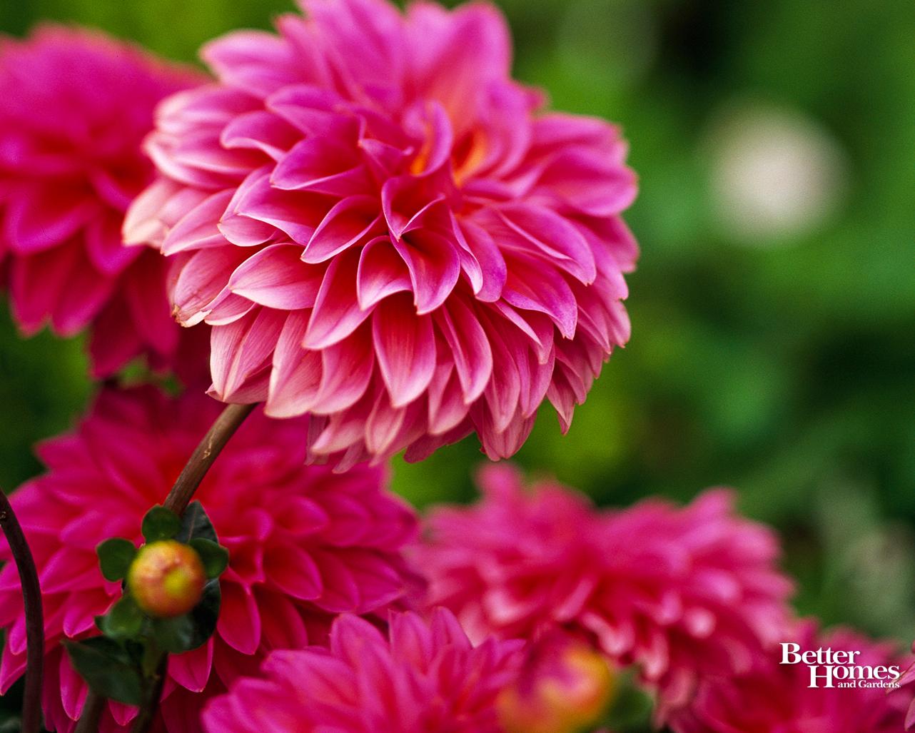 free spring desktop wallpaper,flower,flowering plant,petal,plant,pink