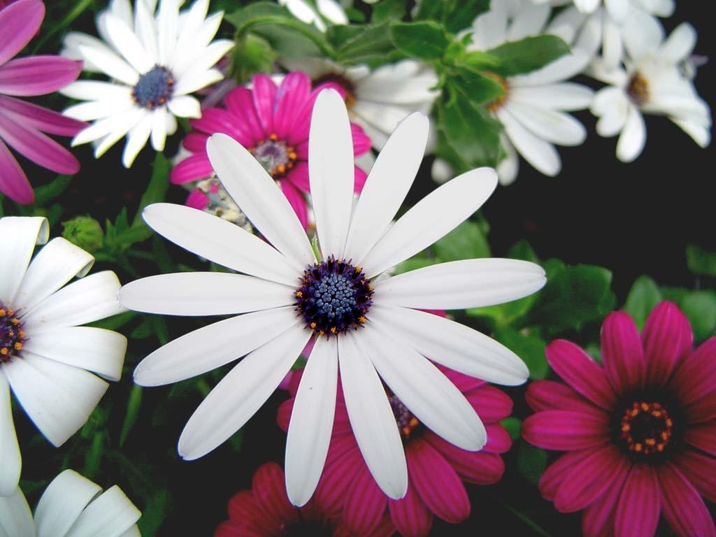 lovely flowers wallpaper,african daisy,flower,pericallis,petal,barberton daisy