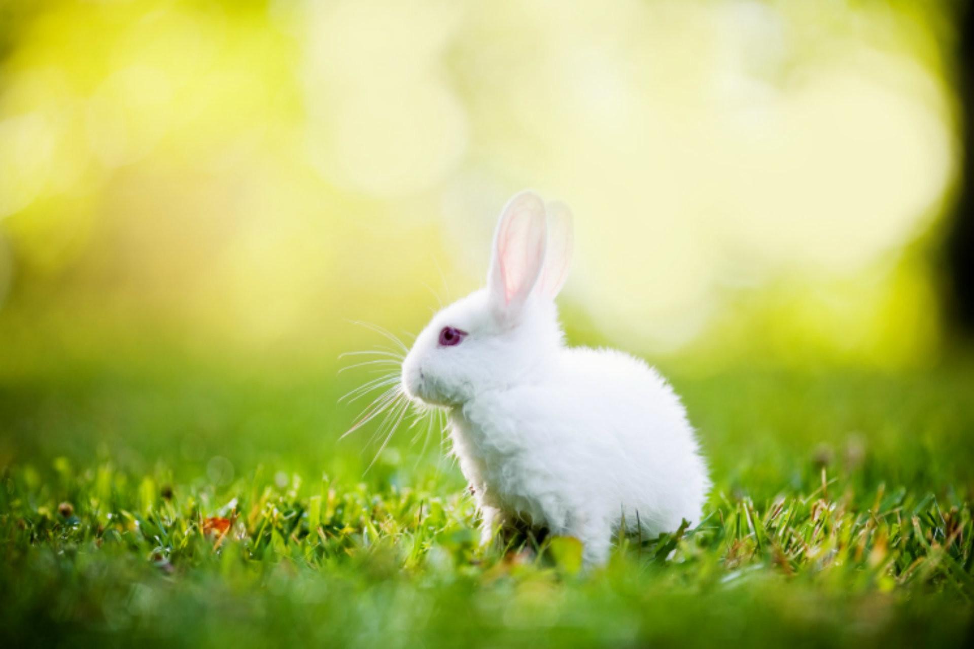 rabbit wallpaper,domestic rabbit,rabbit,rabbits and hares,grass,hare