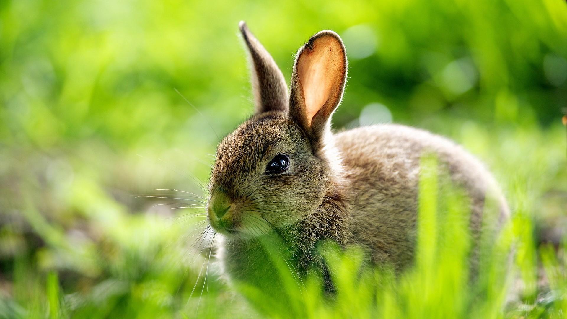 Rabbit Wallpapers Desktop Hd Background   Data-src - Bunny Wallpaper Desktop