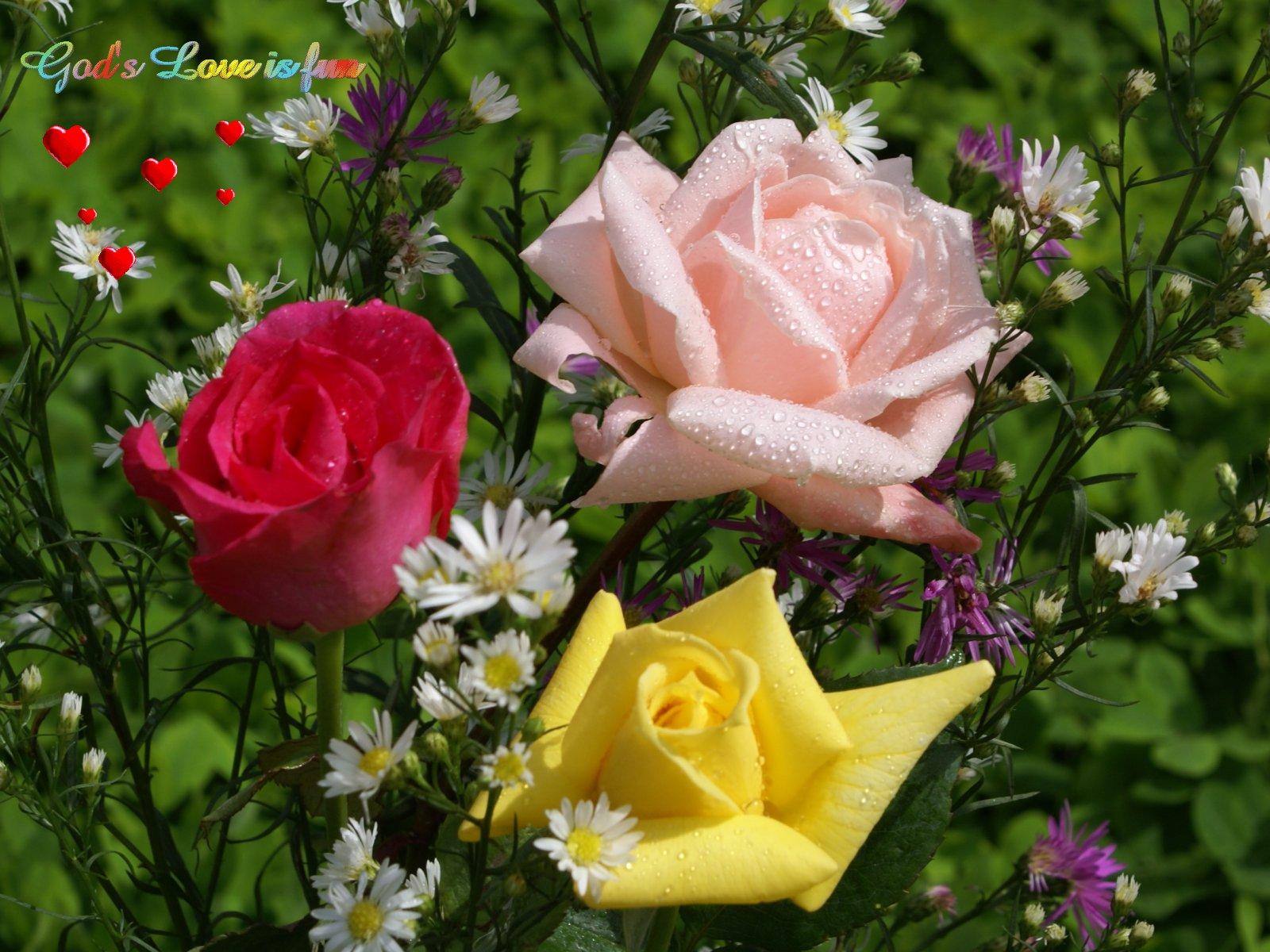 rosas wallpaper,flower,garden roses,flowering plant,rose,petal