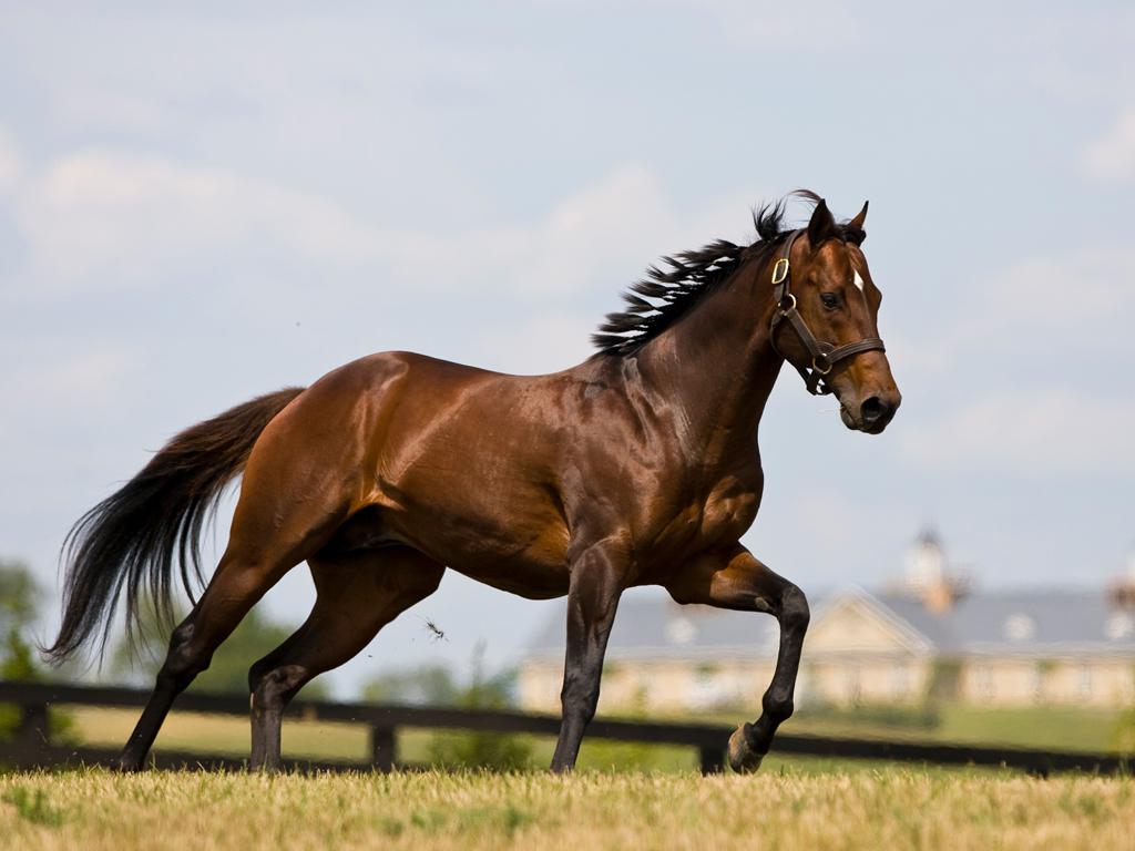 running horse wallpaper,horse,mammal,vertebrate,stallion,mane